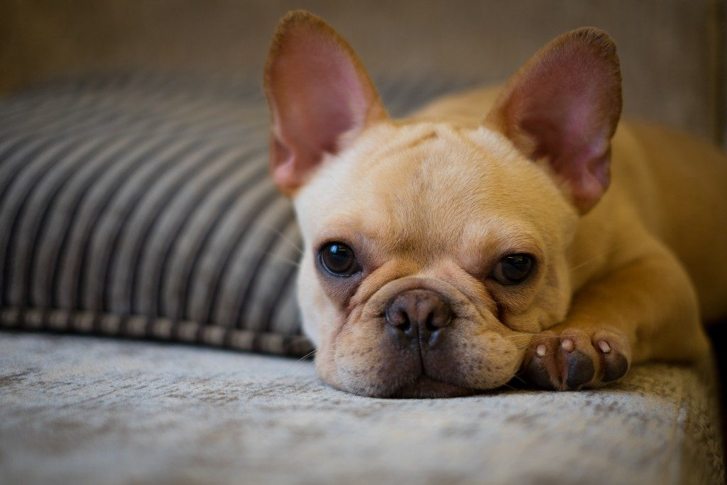 French bulldog on a couch