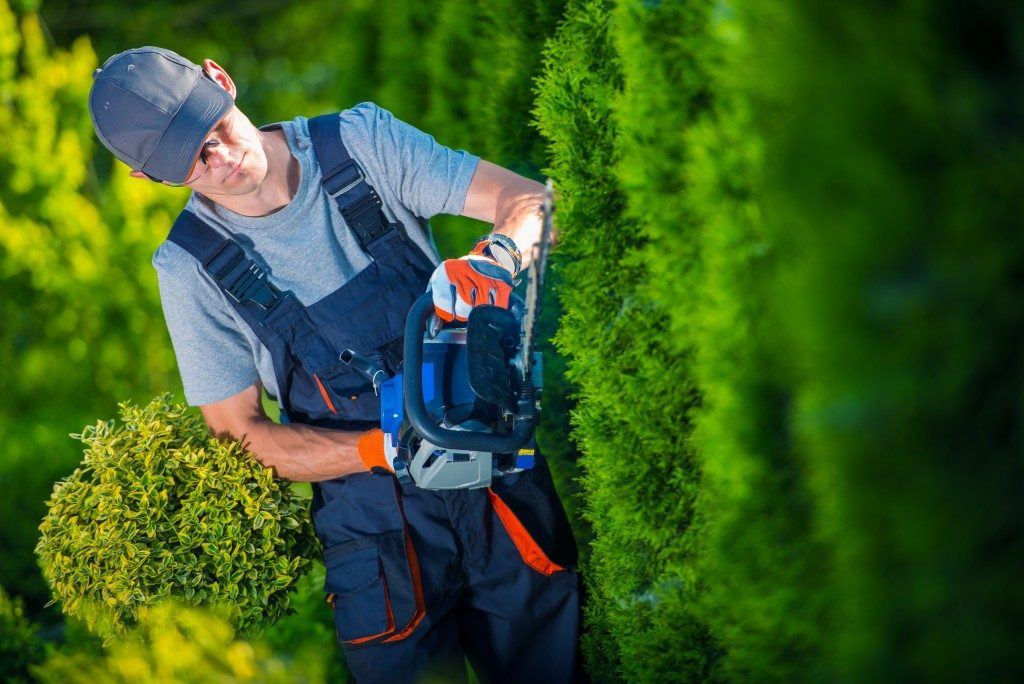 . Gardener with Gasoline Hedge Trimmer Shaping Wall of Thujas